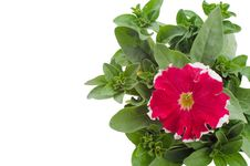 Free Petunia Royalty Free Stock Photography - 36187387
