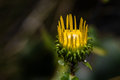 Free Golden Aster Royalty Free Stock Image - 36198196