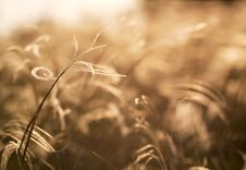 Free Golden Grass Stock Images - 36194574
