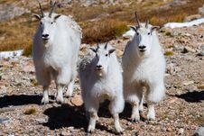 Free 3 Mountain Goats Stock Photo - 36198350