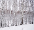 Free Birch Forest Royalty Free Stock Images - 3622719
