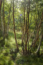 Free White Birch Forest Stock Photography - 3625332
