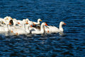 Free Domestic Goose Stock Images - 3625634
