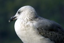Free Seagull Royalty Free Stock Photography - 3621787