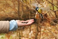 Free Small Titmouse Royalty Free Stock Image - 3622436