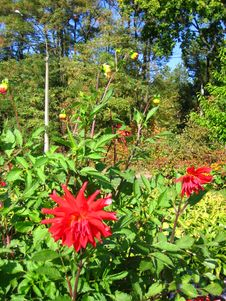 Free Red Dahlia Flowers Stock Images - 3623654