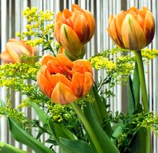 Free Orange Tulips Stock Photo - 3624430