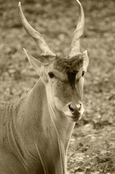Free Onyx Face (antelope Or Gazelle Royalty Free Stock Photography - 3624947