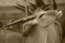 Onyx Face (antelope Or Gazelle Stock Photo