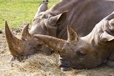Free Two Rhino Or Rhinoceros Royalty Free Stock Images - 3625409