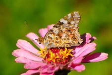 Free Butterfly Royalty Free Stock Images - 3625609