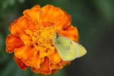 Free Butterfly Royalty Free Stock Photography - 3625657