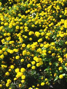 Free Yellow Carnations Flowers Stock Image - 3626021