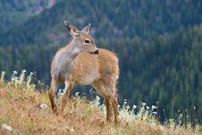Black-tailed Deer Royalty Free Stock Photo