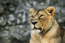 Free Young Lioness Royalty Free Stock Photography - 3626307
