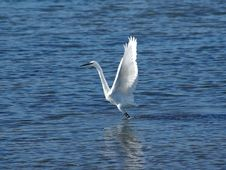 Free Great White Heron Stock Photos - 3626783