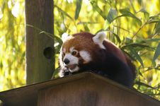 Free Red Panda Stock Photo - 3626810