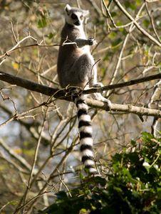 Free Lemur Royalty Free Stock Images - 3627189