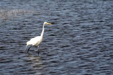 Free Great White Egret Royalty Free Stock Photos - 3629308