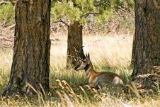 Free Resting Antelope Stock Image - 3629401