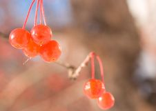 Free Red Berry Royalty Free Stock Photography - 3629947