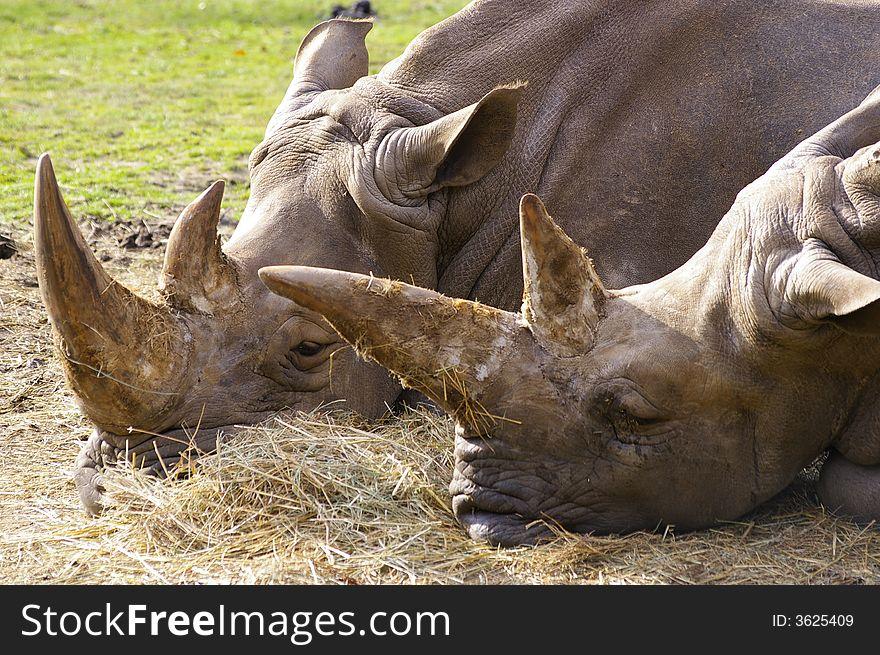 Two rhino or rhinoceros