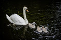 Free Swans Stock Photos - 36207533