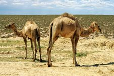 Free Small Camels. Royalty Free Stock Photography - 36200007