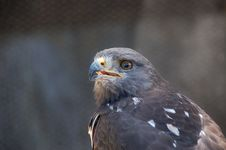 Free Jackal Buzzard Stock Photo - 36202270