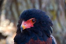 Free Bateleur Eagle &x28; Terathopius Ecaudatus &x29; Stock Photo - 36202330