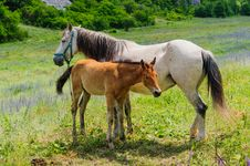 Free Foal And His Mother Horse, Breastfeeding Stock Image - 36203151