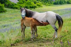 Foal And His Mother Horse, Breastfeeding Royalty Free Stock Photos