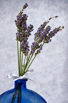 Free Fragrant Lavender Stock Photography - 36207152