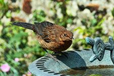 Blackbird At The Birdbath Royalty Free Stock Photo