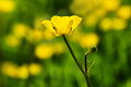 Free Buttercups Royalty Free Stock Photos - 36216368