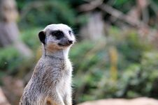 Free Portrait Of A Meerkat Stock Image - 36214861