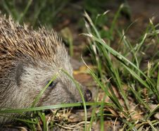 Free Hedgehog Stock Photography - 36219002