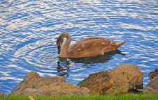 Free A Beautiful And Peaceful Bird On A Lake Stock Photo - 36223140