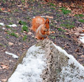 Free Red Squirrel Stock Image - 36243451