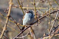 Free Sparrow Sitting On A Tree Branch Stock Images - 36243444
