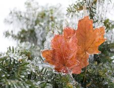 Free Frozen Maple Leaves Stock Photos - 36247973