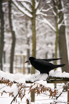 Free Winter Raven Royalty Free Stock Photography - 36248397