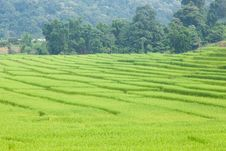 Free Rice Fields Royalty Free Stock Photo - 36249895