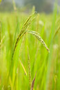 Free Rice In Rice Field Stock Photo - 36250980