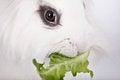 Free White Rabbit Royalty Free Stock Images - 36252909