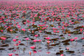 Free Red Lotus Pond Stock Image - 36256701