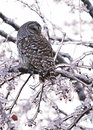 Free Barred Owl Displaced In Ice Storm Stock Photos - 36258583