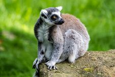 Free Ring-tailed Lemur Royalty Free Stock Images - 36251019