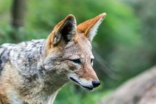 Free Face Od Jackal Stock Photo - 36251130