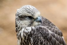 Free Saker Falcon Stock Image - 36251191